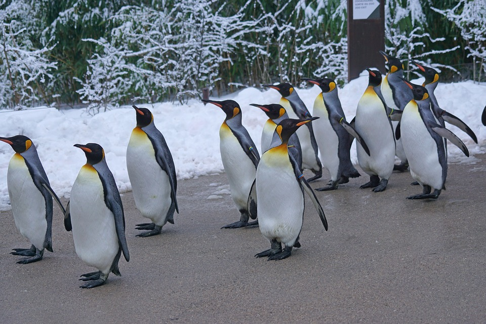 Penguins_On-The_Move