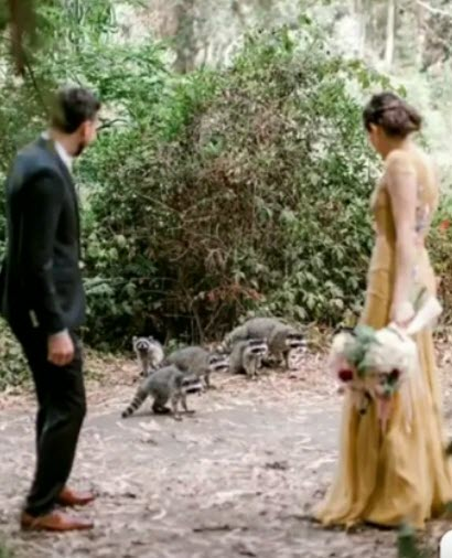 Raccoons_And_Newly_Weds