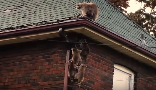 Raccoons_Looking_For_Trouble
