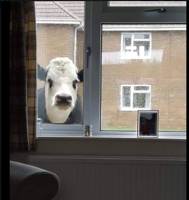 Curious_Cow
