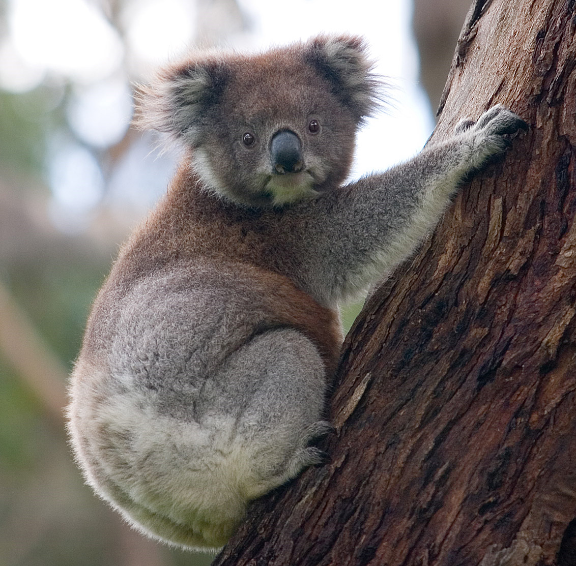 https://en.wikipedia.org/wiki/File:Koala_climbing_tree.jpg