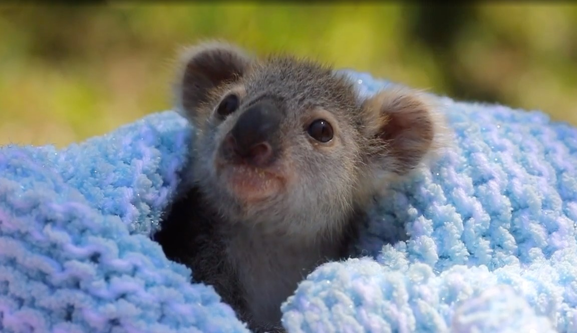 https://www.newcastleherald.com.au/story/6417003/this-is-elsa-shes-a-koala-and-shes-objectively-adorable/
