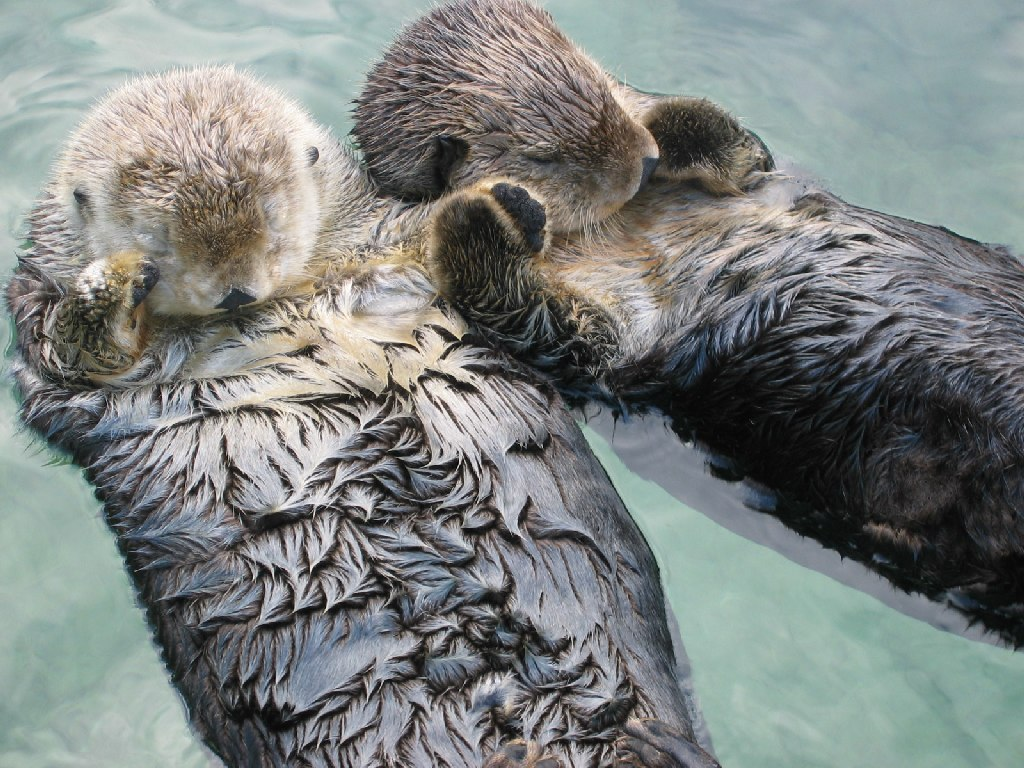 https://commons.wikimedia.org/wiki/File:Sea_otters_holding_hands.jpg