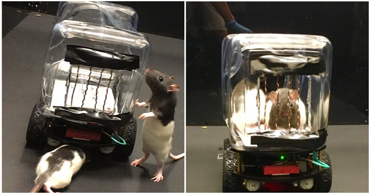 https://www.newscientist.com/article/2220721-scientists-have-trained-rats-to-drive-tiny-cars-to-collect-food/