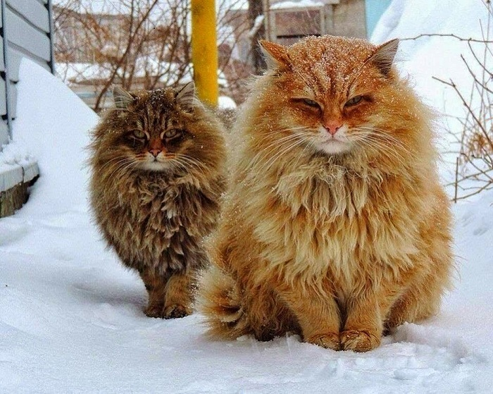 50 adorably round Norwegian cats living their best lives