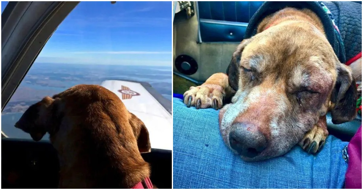 Pilot flies terminal shelter dog 400 miles to spend her last days with a loving family