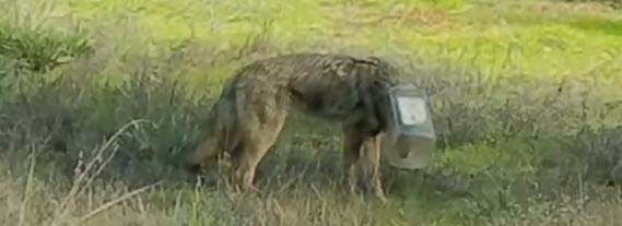 Coyote_In_Trouble