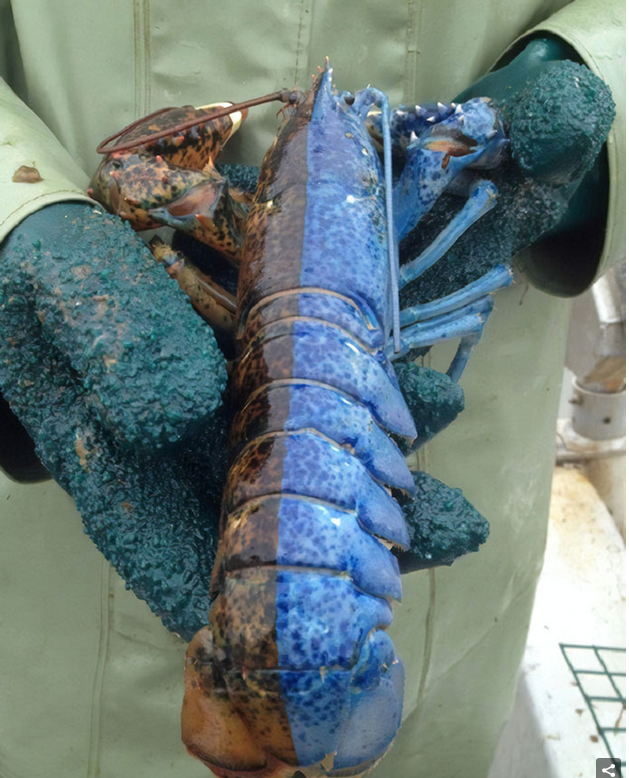 Bi-Coloured_Lobster