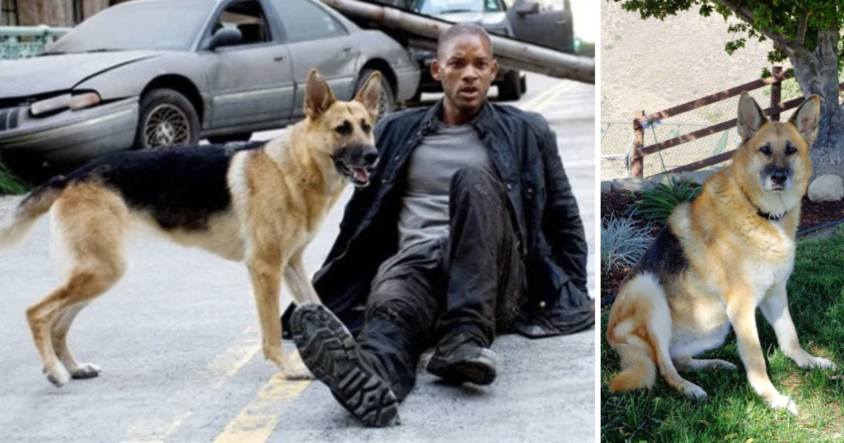 """Sam, dog from """"I am Legend,"""" is now 13 and still the best friend a person could ask for"""
