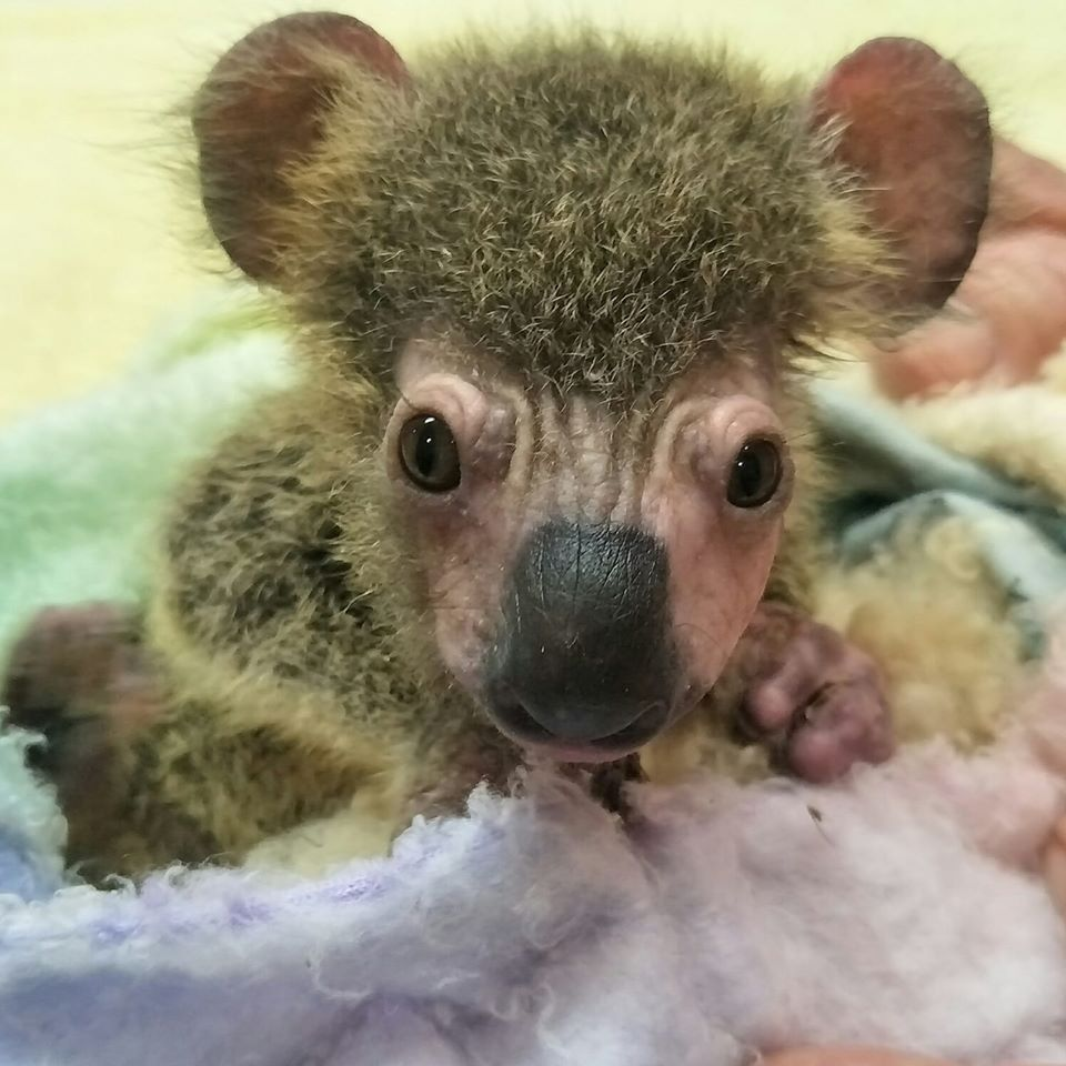 Baby Koala Separated From Mother And Alone During