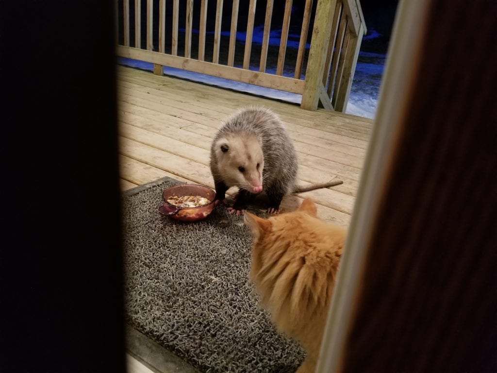 Cat Sees An Opossum Eating His Food