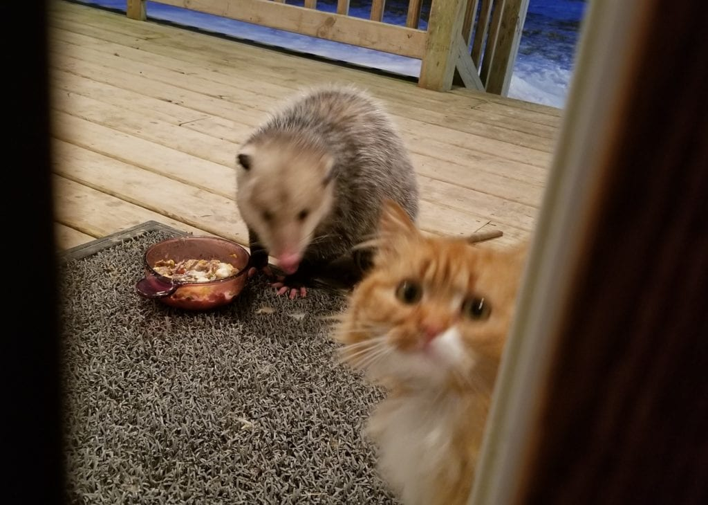 Cat Is Left Without Food Due To Opossum