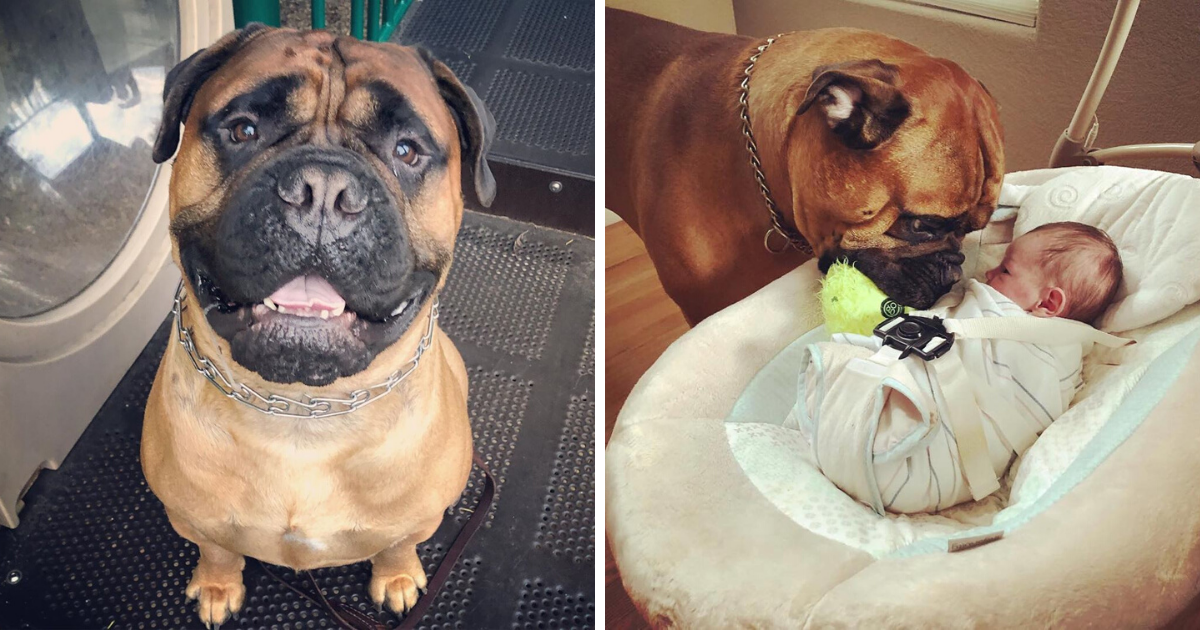 Sweet Bull mastiff brings baby brother his favorite toy whenever he cries