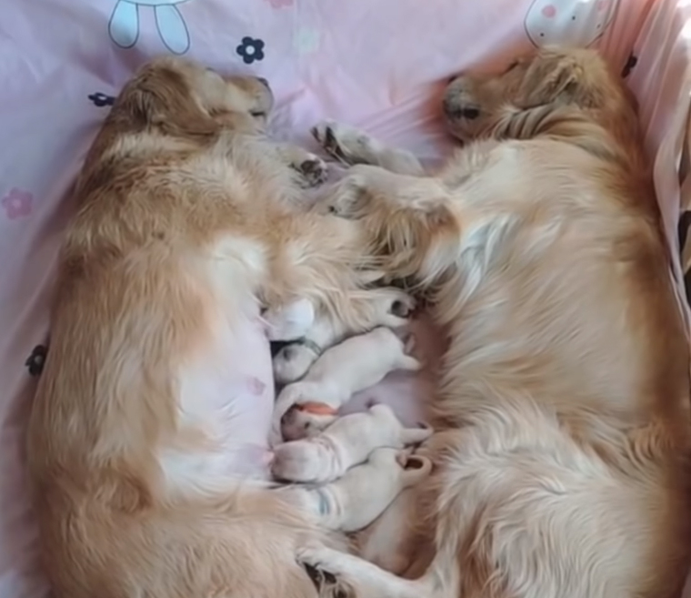 Millions have fallen in love with footage of golden retrievers ...