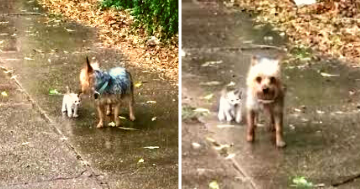 Dog leads tiny kitten home after finding her stranded in the rain