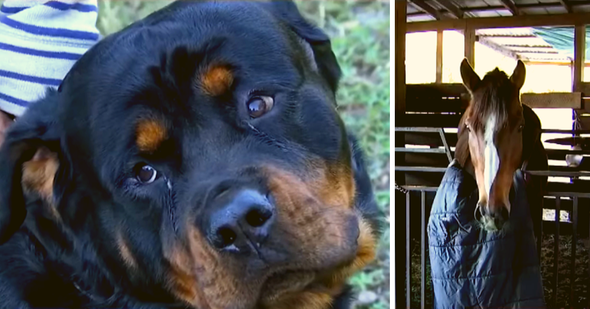 Thieves try to steal horses for meat, not anticipating two Rottweilers would foil their plan