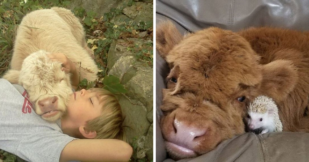 10+ adorable cows prove they're really just big puppies