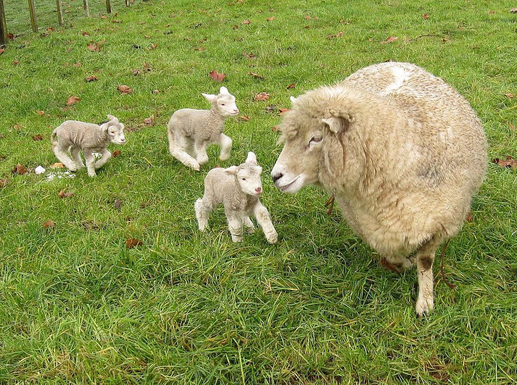 https://upload.wikimedia.org/wikipedia/commons/thumb/8/85/Romney_sheep%2C_ewe_with_triplet_lambs_in_New_Zealand.jpg/1024px-Romney_sheep%2C_ewe_with_triplet_lambs_in_New_Zealand.jpg