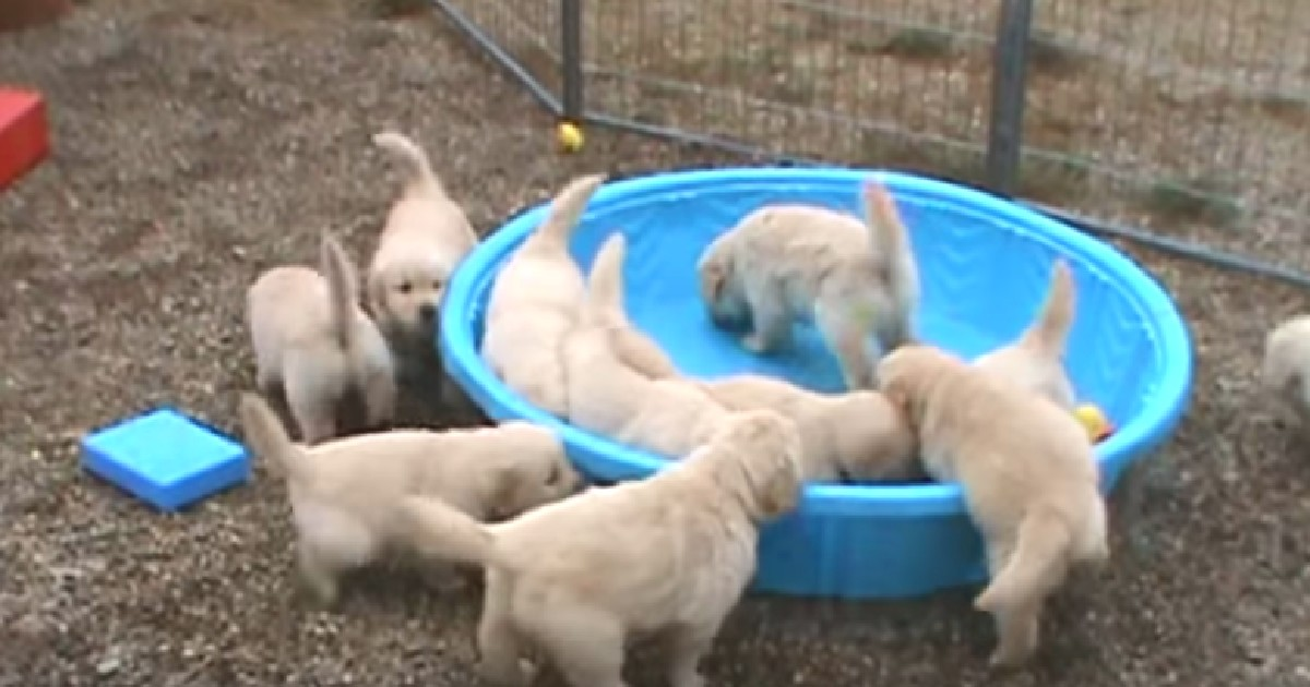 Golden Retriever Puppies Throw Adorable Fit When No One Fills Their Pool