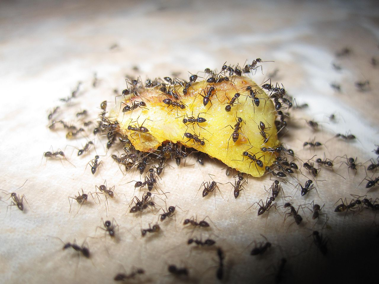 https://commons.wikimedia.org/wiki/File:Ants_eating_fruit.jpg