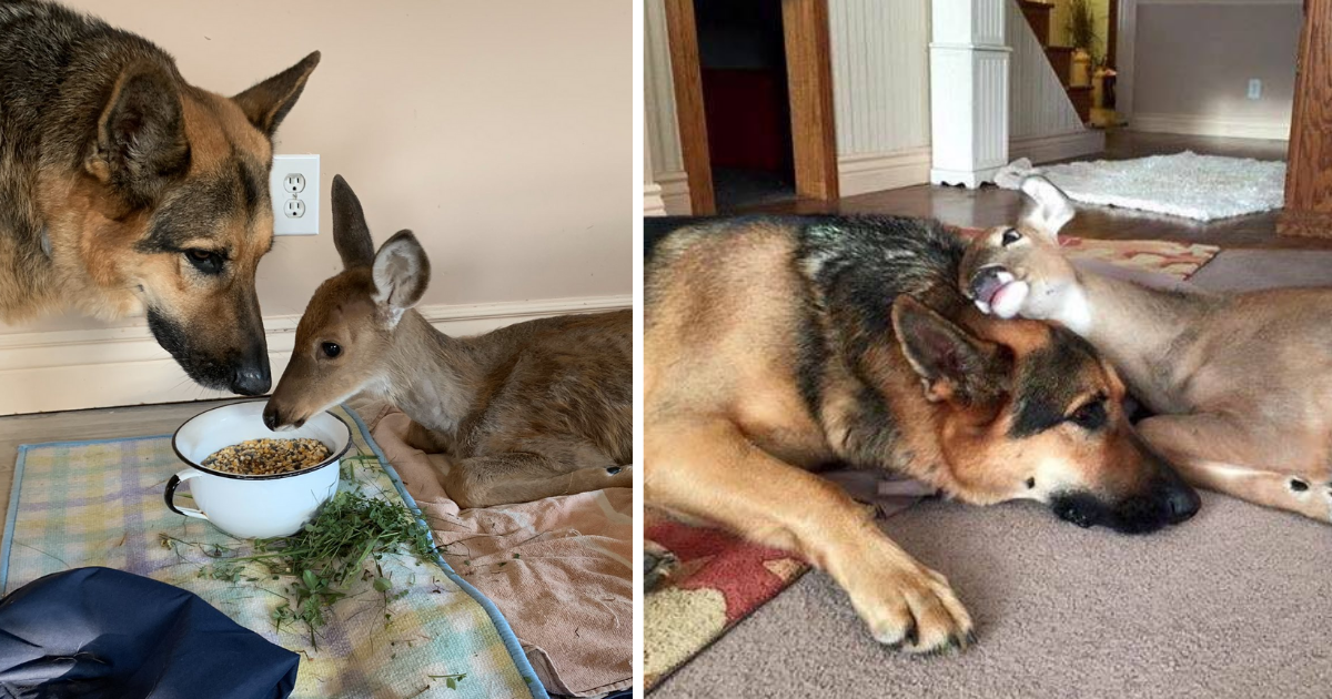 Meet Sarge, the German shepherd caring for injured and orphaned animals