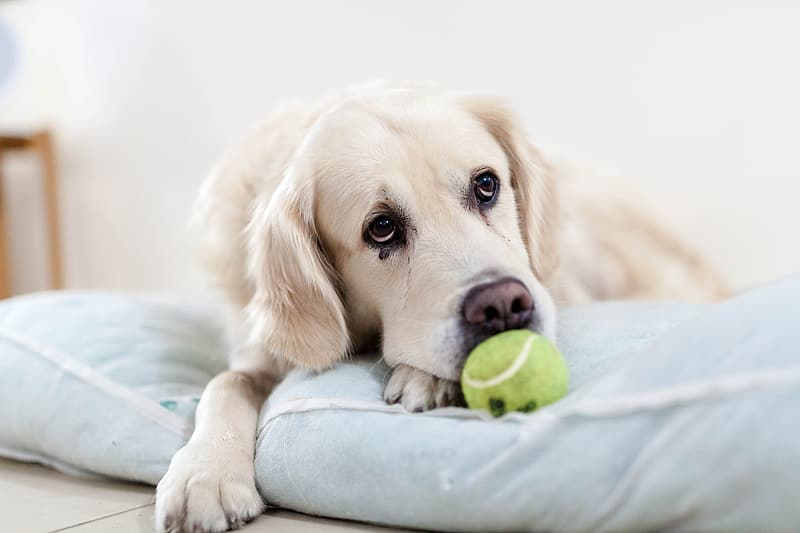 https://www.pikrepo.com/ffmkc/adult-golden-retriever-on-focus-photo
