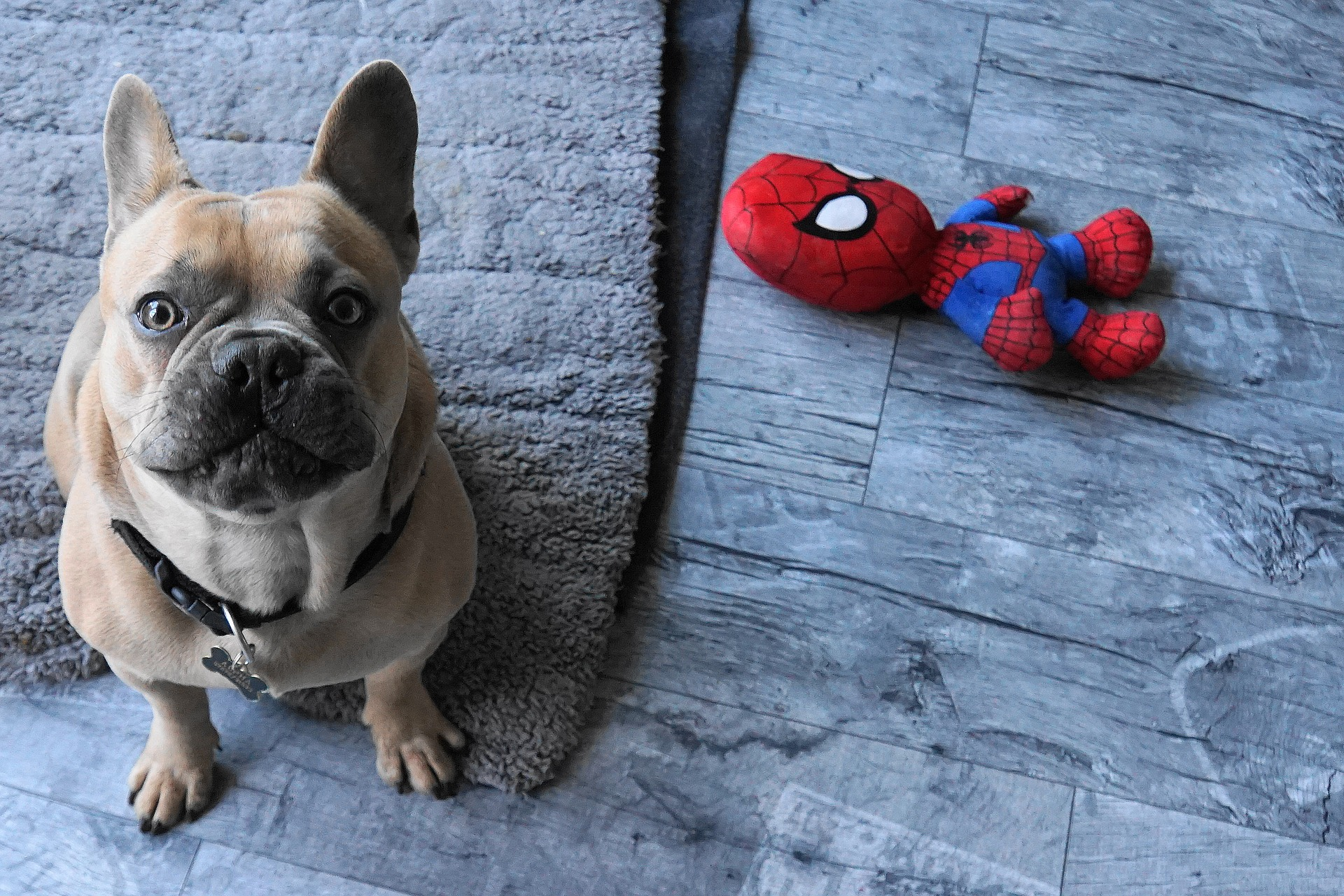 https://pixabay.com/photos/french-bulldog-dog-toys-spiderman-4025552/