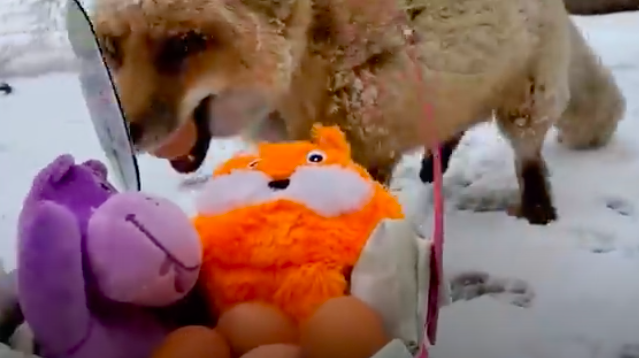 Youtube Stuffed Animals, Excited Fox Can T Stop Giggling When Woman Comes Out To Play
