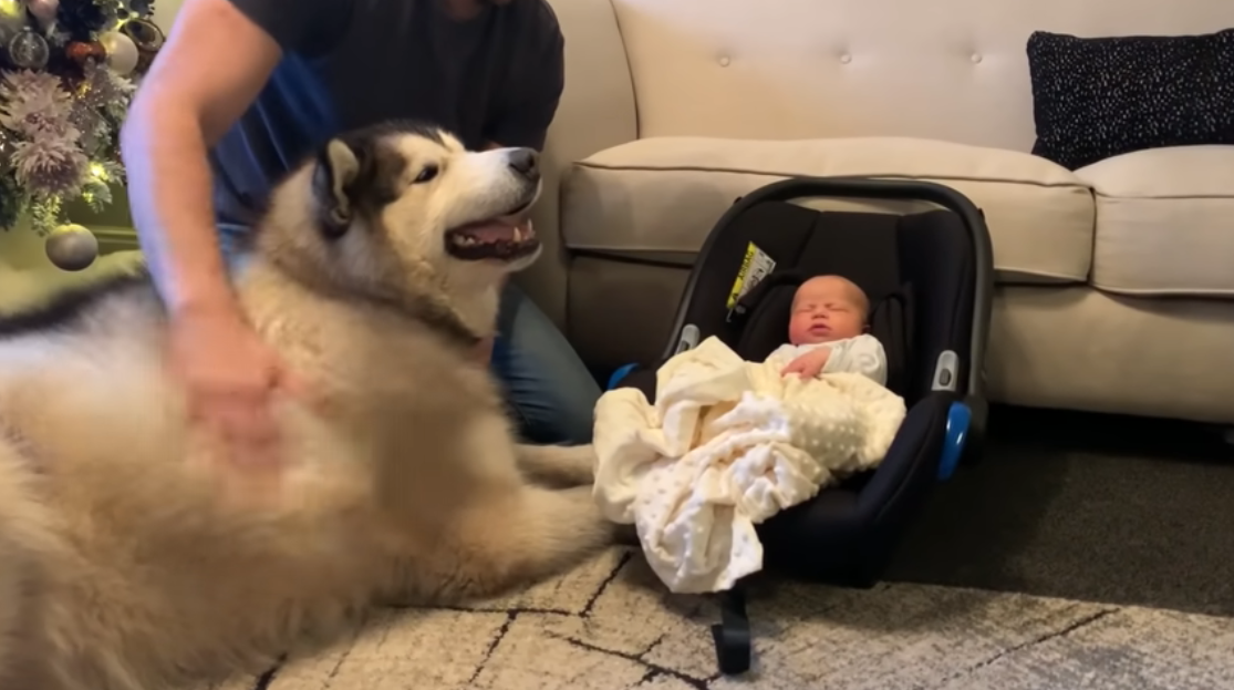 Alaskan Malamutes Meet Baby For The First Time And Their Reactions Are Priceless The malamute is a true pack animal with the natural instinct to lead or be led; alaskan malamutes meet baby for the