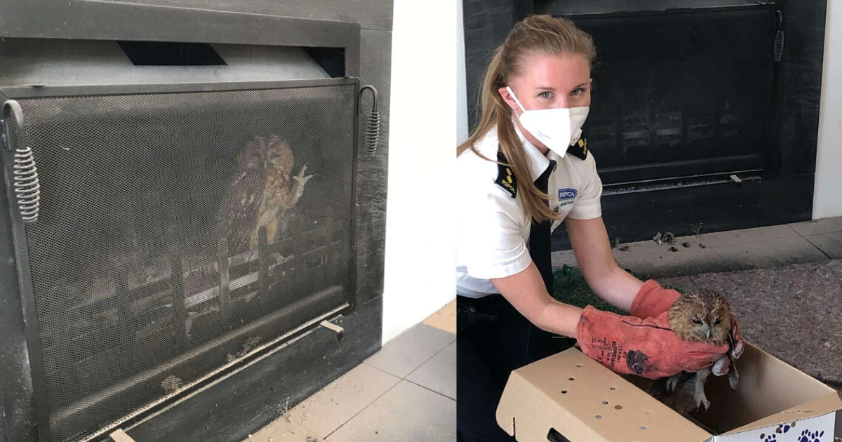 https://www.thedodo.com/in-the-wild/owl-gets-stuck-in-familys-fireplace