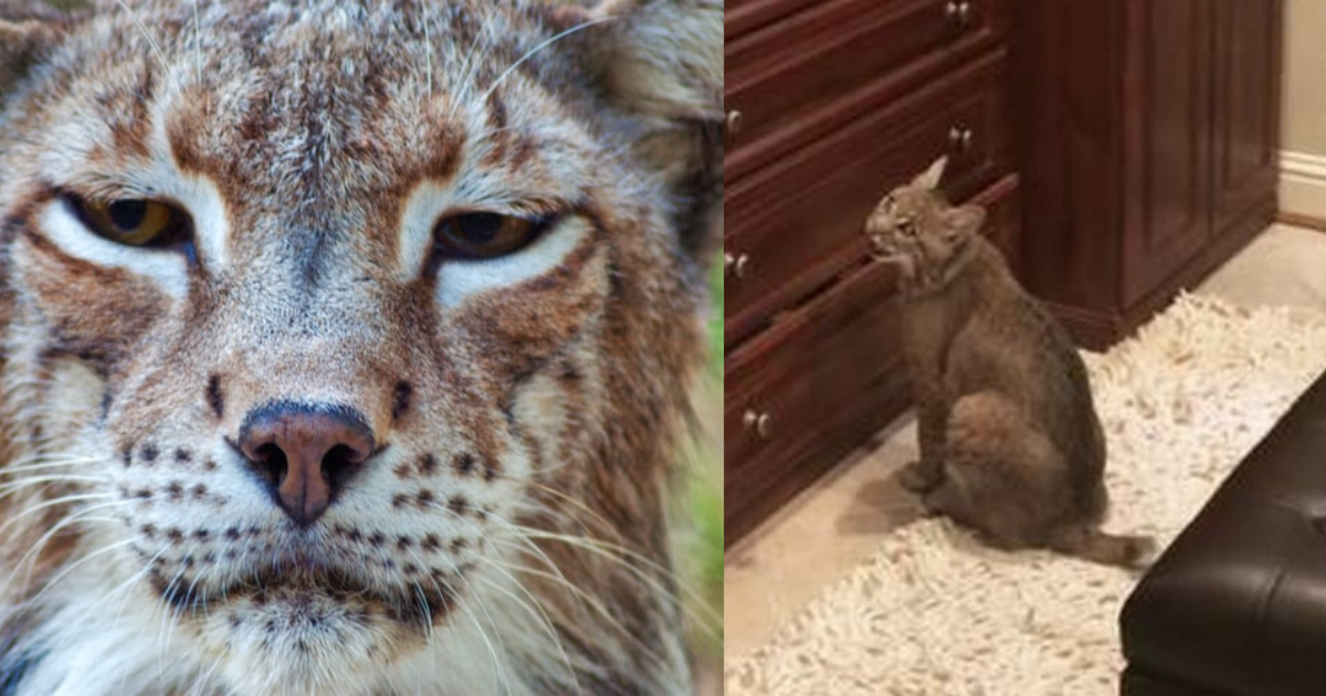 https://defused.com/woman-mistakenly-brings-wild-bobcat-home/