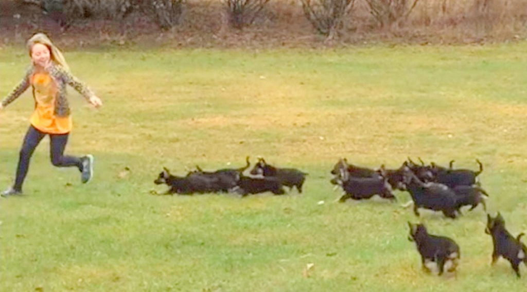 "A Group of German Shepherds Discovers A Girl Running, This is the Cutest ""Attack"" You'll ever see!"