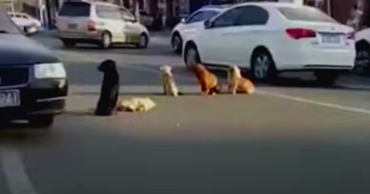 Four dogs block traffic and drivers realize they're protecting friend's body killed by car