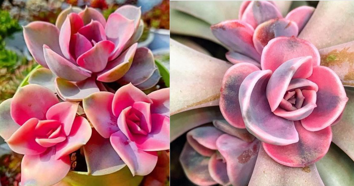 Rainbow Succulents Are Real And They Re Absolutely Gorgeous
