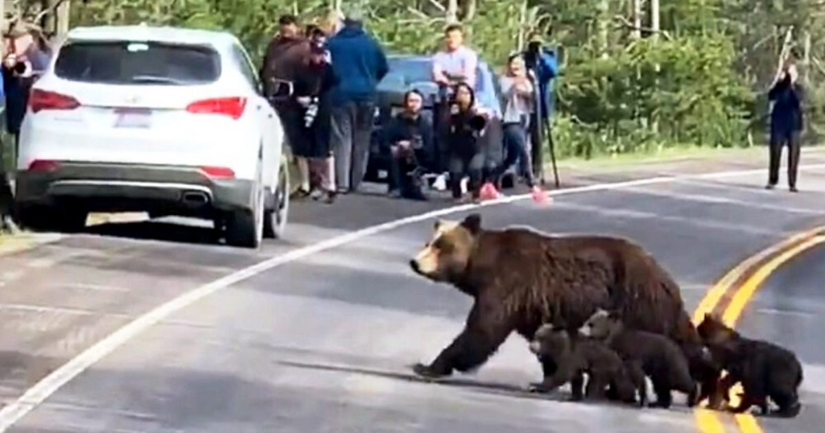 https://rumble.com/v9gsa3-a-grizzly-with-four-cubs-cross-the-road.html