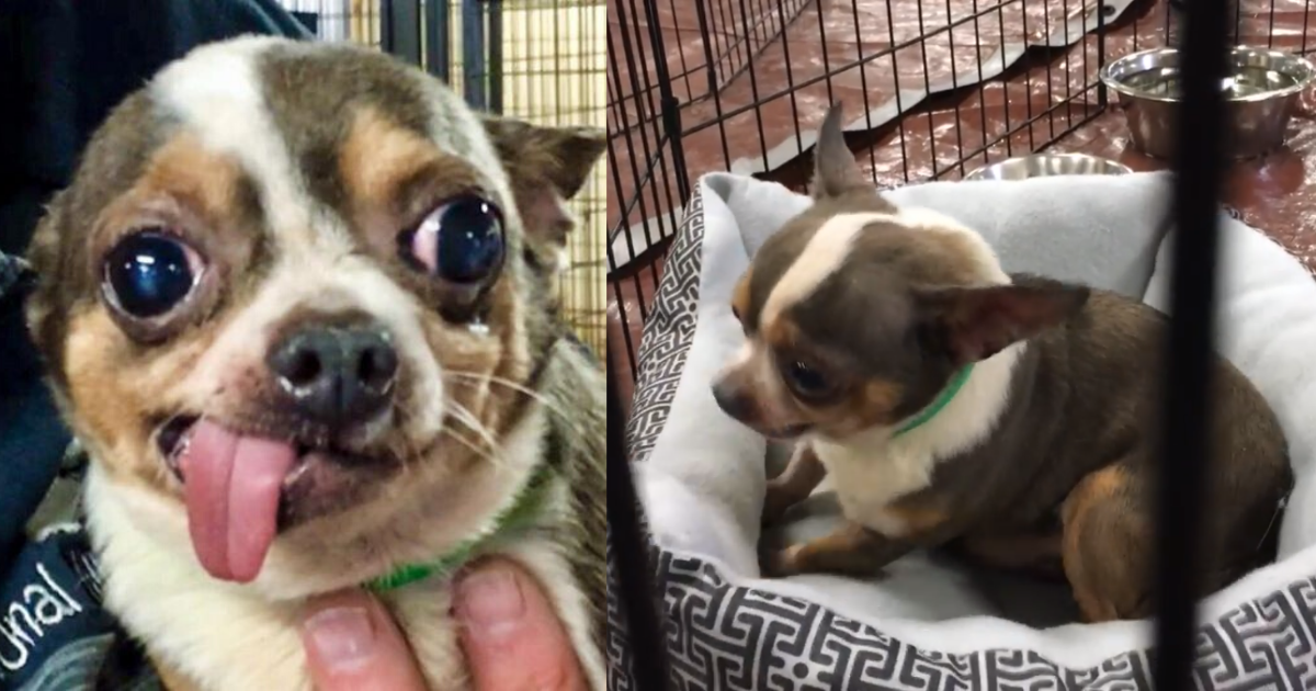 Chihuahua Rescued From Puppy Mill Can't Believe He Finally Has His Own Bed