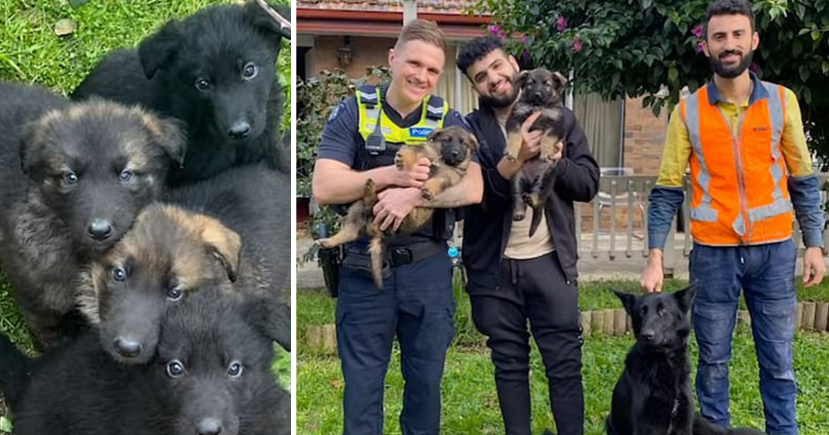 Owner's 4 GSD puppies are stolen by thieves – see the sweet moment they're reunited