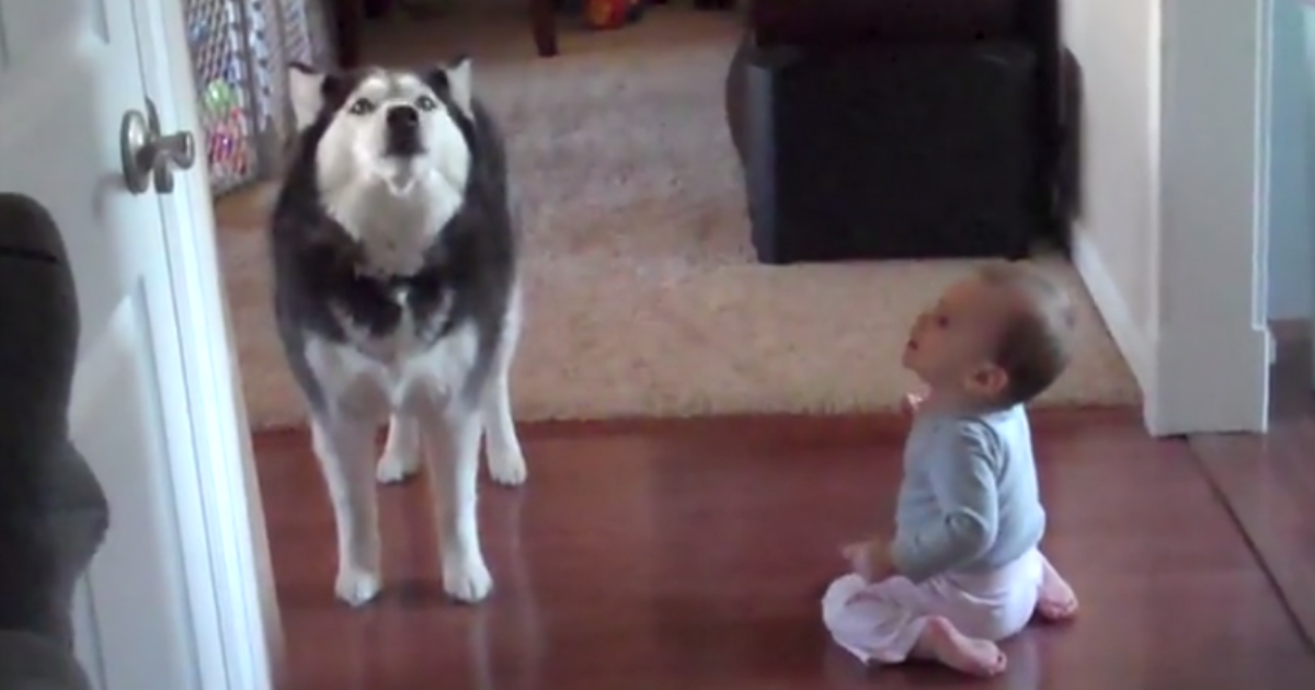 https://rumble.com/v329zd-husky-howls-with-baby.html