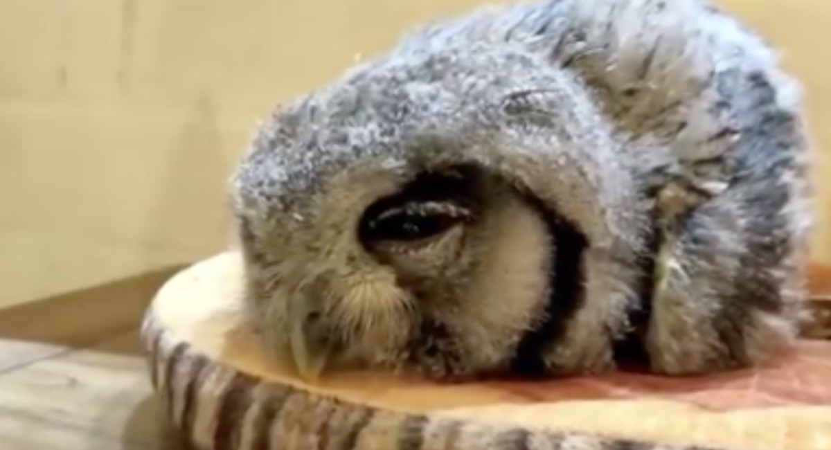 Some Owls Sleep Face Down And These 30 Funny Photos Show What It Looks Like