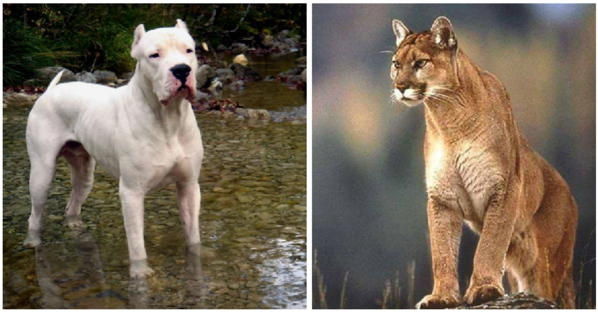 difícil Puntero Joseph Banks  Brave dog fights off puma to save two little girls