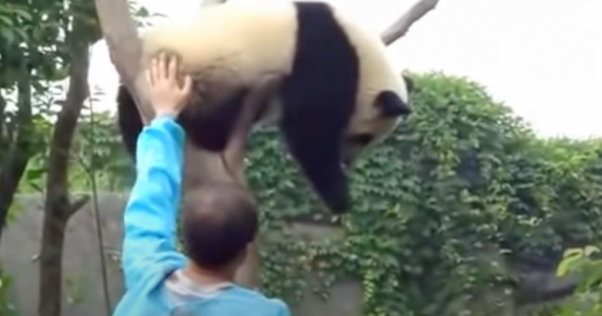 Baby Panda Wants Hug From Worker To Get Down From Tree