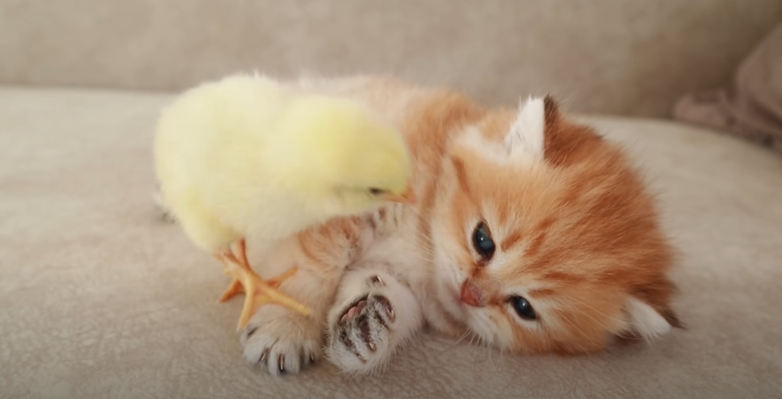 Cute Kitten Has Adorable Reaction To Meeting Baby Chick For First Time