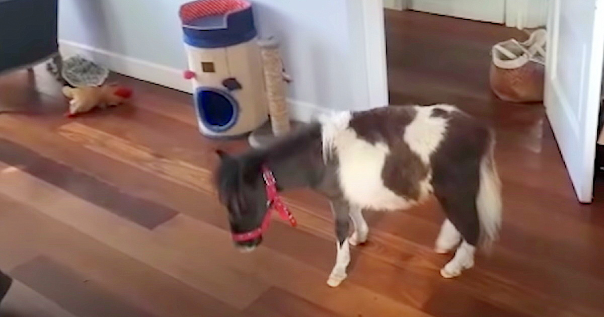 Lonely Miniature Horse Melts Hearts Finding Best Friend