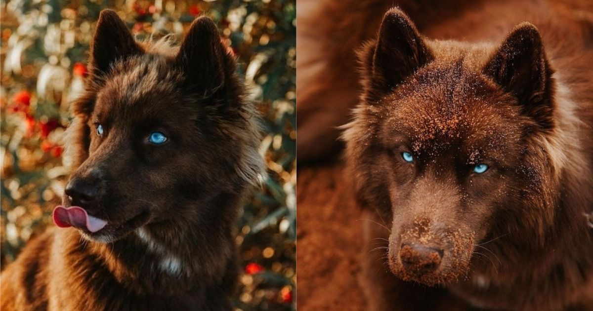 Unique chocolate-brown Siberian Husky may just be the most gorgeous dog on Instagram