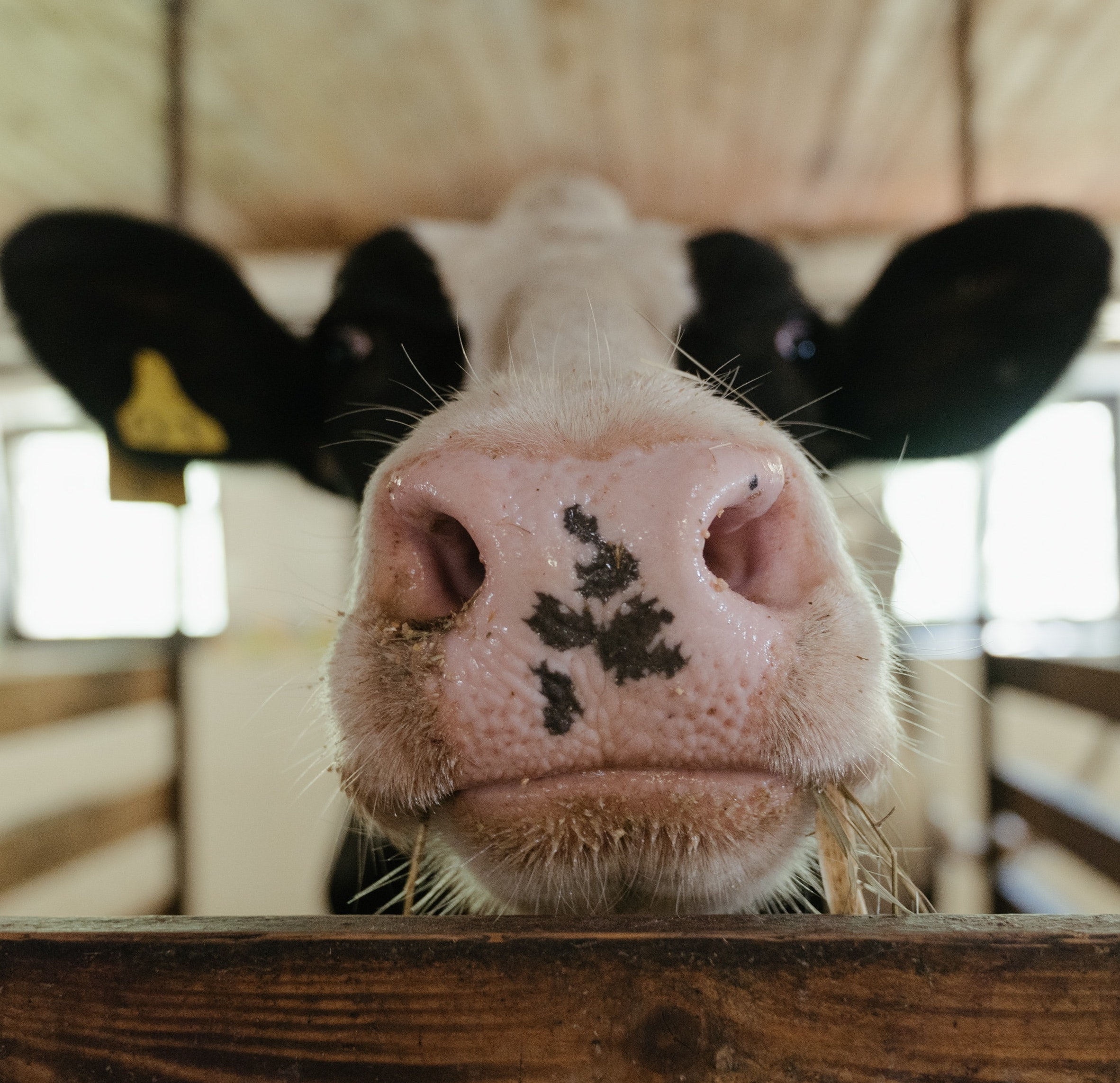 https://www.pexels.com/photo/white-and-black-cow-head-4910769/